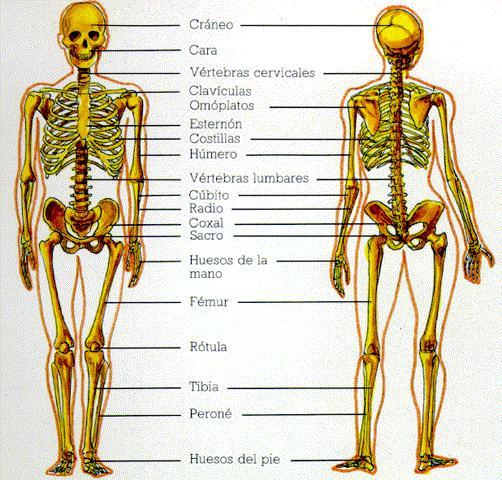 composicion del sistema oseo humano - GERARDO V. 4ºC